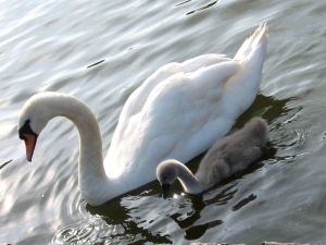 2012.05.29 Pen and Cygnet