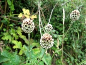 5 knapweed (2)