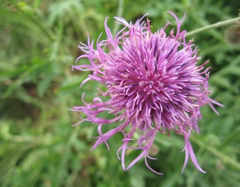 5 knapweed