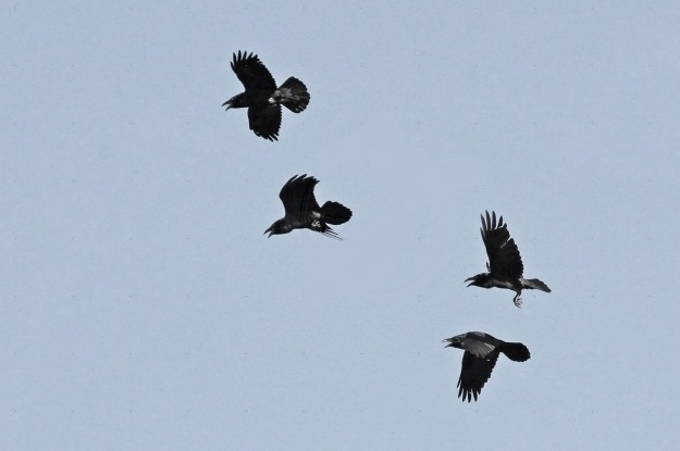 A Collective Noun for Ravens