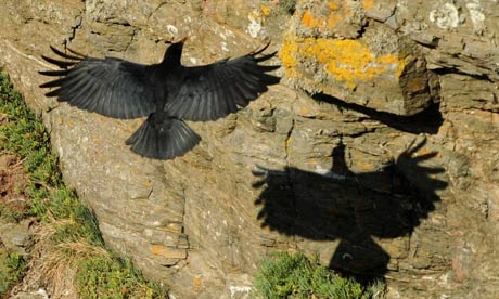 Cornish Chough at Lizard Point