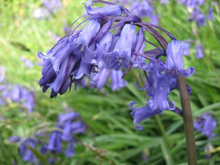 2014.04.24  English bluebell (Hyancinthoides non-scripta)