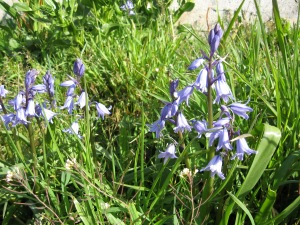 2014.04.15 (17) Spanish bluebells