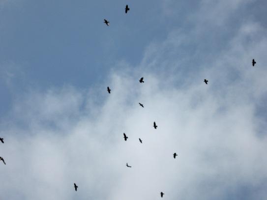 ravens and seagulls, Kiberick Cove
