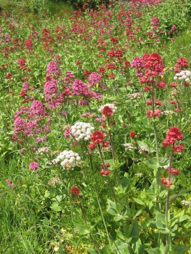 Red Valerian (Centranthus ruber) - Poltesco serpentine works: 23rd May 2014