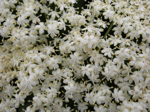 Elderflowers (Sambucus nigra) - Lamorna: 3rd June 2014