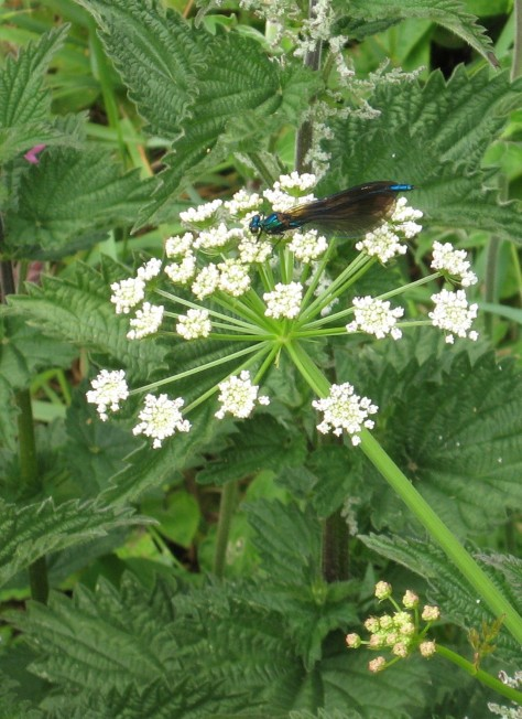 Beautiful demoiselle (Calopteryx virgo) on Hemlock Water Dropwort (Oenantha crocata) - St Levan's Well, West Penwith: 3rd June 2014