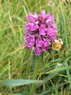 Betony (Stachys officinalis) - Mawgan Porth: 25th June 2014