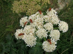 Umbellifer (Apiaceae) with Soldier Beetles (Phagonycha fulva) - Mawgan Porth: 25th June 2014