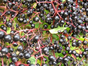 Elderberries (Sambucus nigra) - Port Gaverne: 22nd September 2014