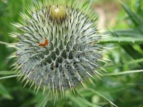 Globe Thistle (Echinops bannaticus) - Tregurnow, nr Lamorna: 3rd June 2014