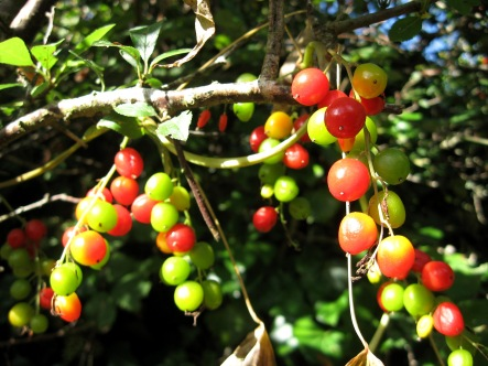 Black Bryony (Tamuss communis) - Crackington Haven: 23rd September 2014