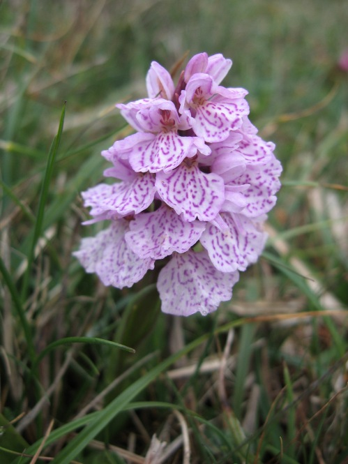 Heath Spotted Orchid (Dactyloriza maculata) - Lizard Point: 26th May 2014