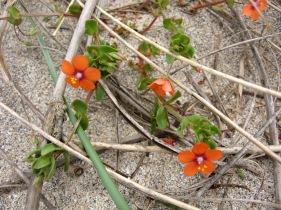 Scarlet Pimpernel (Anagallis arvensis) - Gwithian dunes: 8th June 2014
