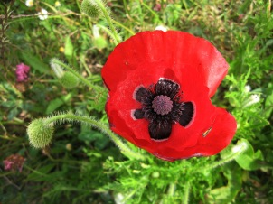 Poppy (Papaver rhoeas) - Porthtowan: 9th June 2014