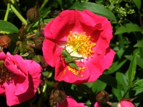 Rose (Rosa sp.) and Great Green Bush Cricket (Tettigonia viridissima) - Holywell Bay: 10th June 2014