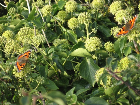 Small tortoiseshell butterflies (Nymphalis urticae) on Ivy flowers (Hedera helix) - Tregardock: 22nd September 2014