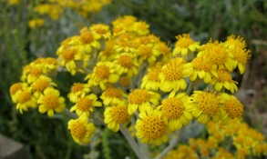 Silver Ragwort (Senecio cineraria) - Whipsiderry, Newquay 25th June 2014