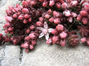 English Stonecrop (Sedum anglicum) - Pen Enys Point, Trevalgan: 5th June2014