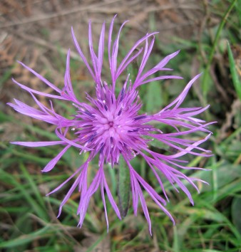 Knapweed (Centaurea nigra) - Marsland Mouth: 25th September 2014