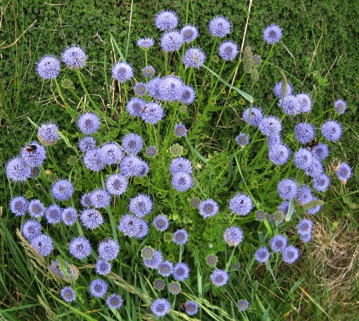 Sheep's-bit Scabious (Jasione montana) - Godrevy Head: 8th June 2014