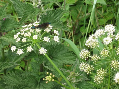 beautiful demoiselle (male) on hemlock water dropwort at St Levan's Well