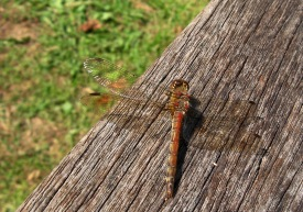 I saw damsels and dragons in the September sun: living jewellery whose fragile aerial lives last days, weeks.