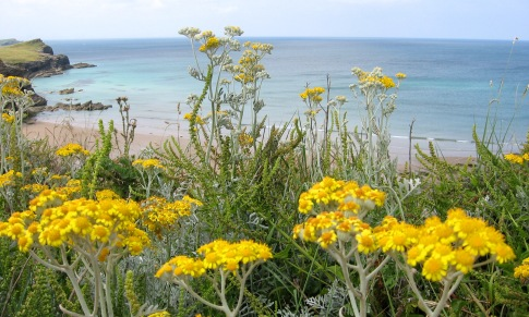 Silver ragwort, Whipsiderry