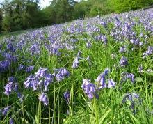 english bluebells, Black Hill