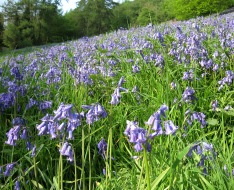 english bluebells, Black Hill