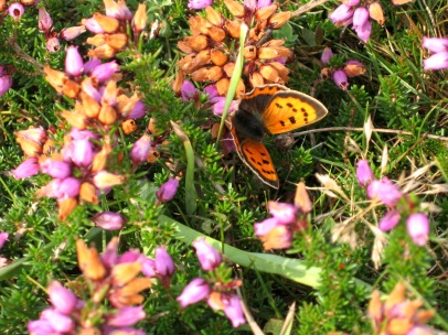 Small copper (Lycaena phlaeas) on bell heather (Erica cinerea)