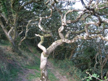 Dizzard oak woodland