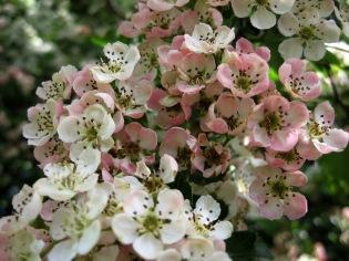 May blossom at Marlbank