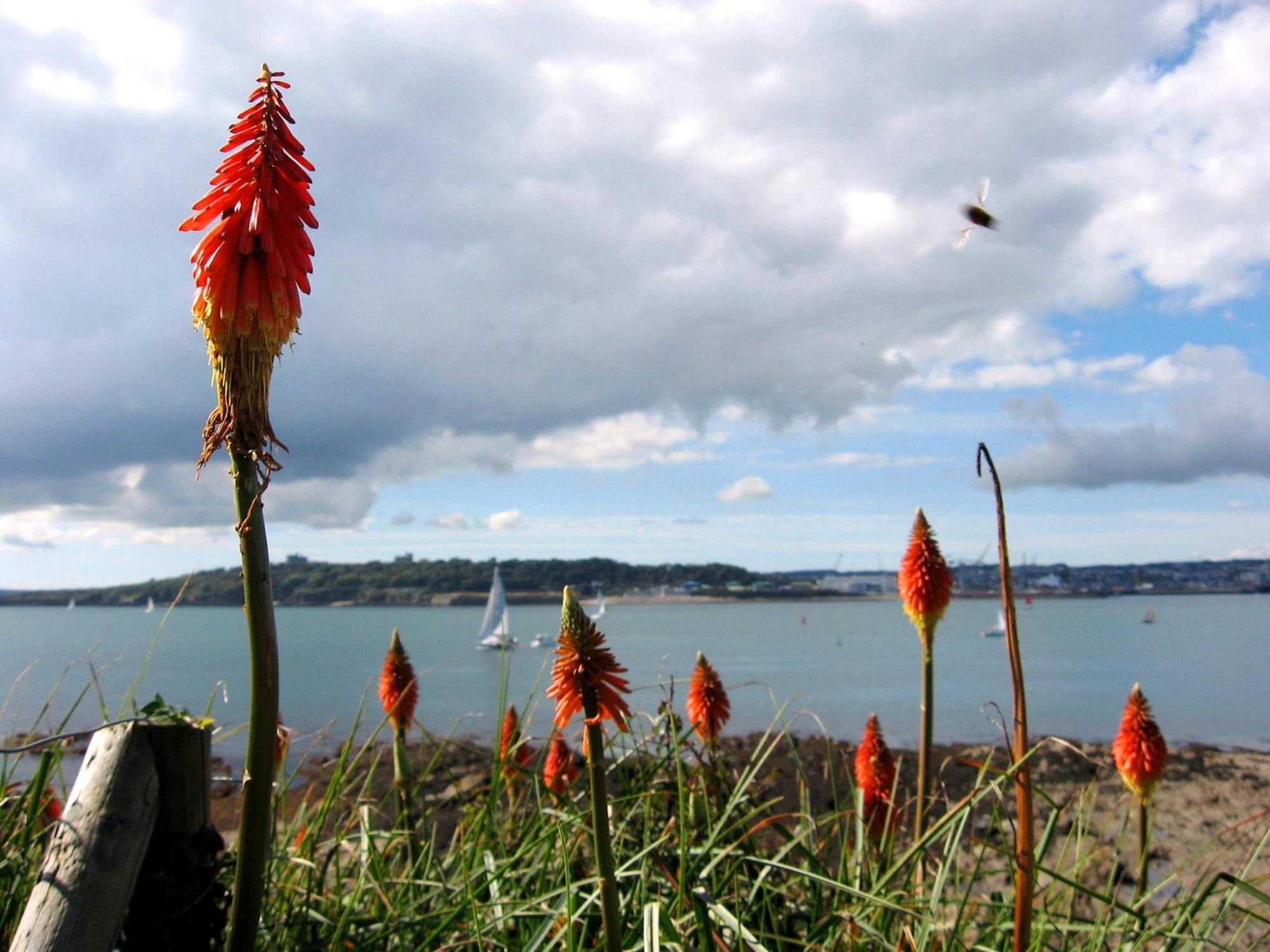 Red hot poker flowers St Mawes